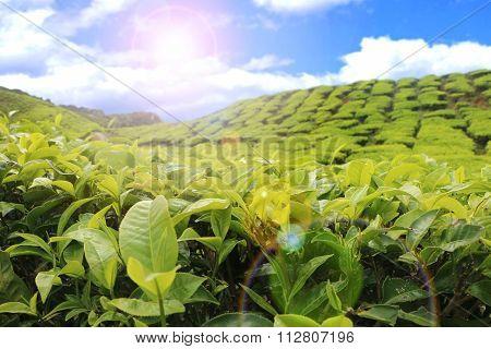 Tea Farm With Morning Sunlight