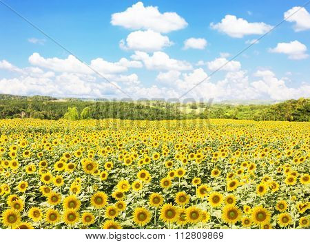 Sunflower Field With Nature And Blue Sky Background