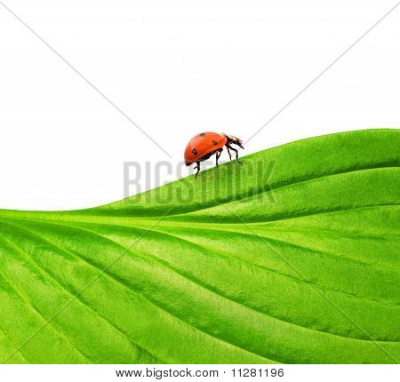 Picture of a ladybug on a green leaf