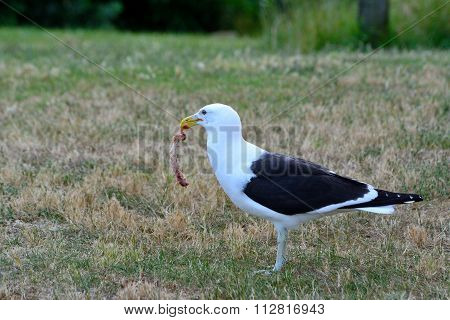 Black backed gull (Karoro) eating a piece of meat while standing.