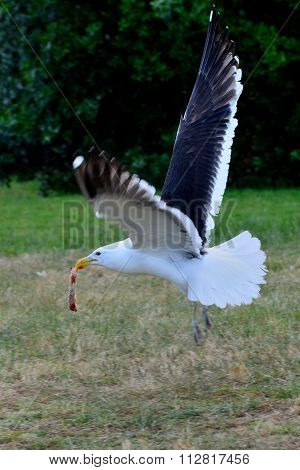 Black backed gull flying with a piece of meat