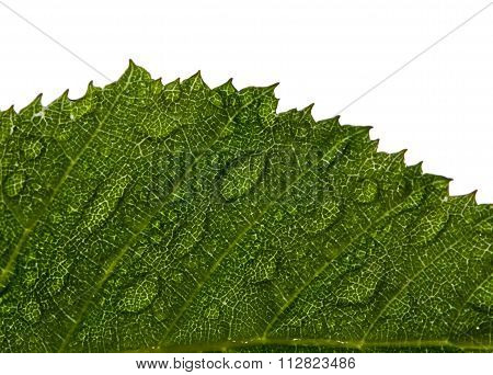 Hornbeam Leaf With Water Drops