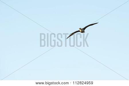 Immature Double-crested Cormorant In Flight