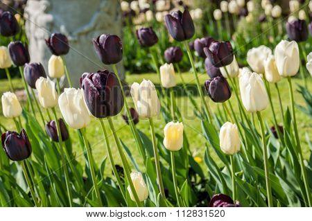 Tulips in garden bed