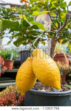 Two lemons on a small tree