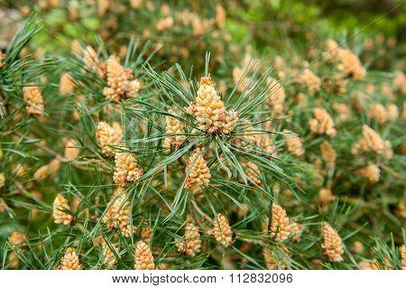 cones on spiky tree