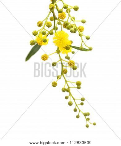 Acacia Flowers On White