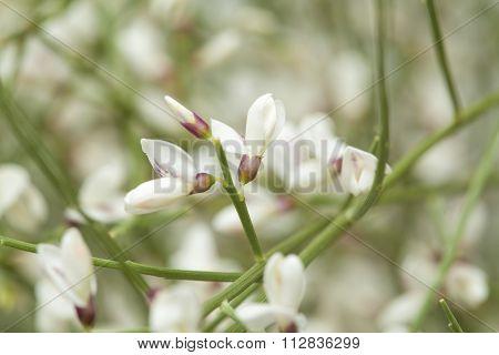 Retama Rhodorhizoides, Bridal Veil Broom