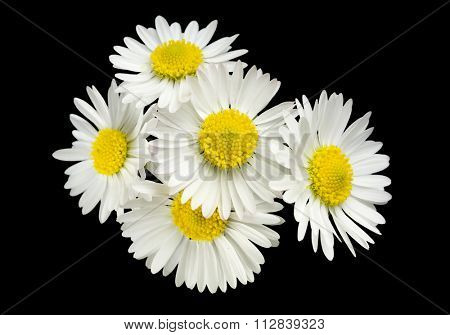 five little daisies on black background