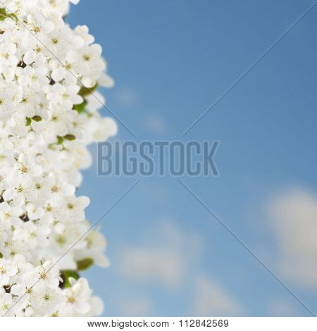 Blossoming Plum Tree