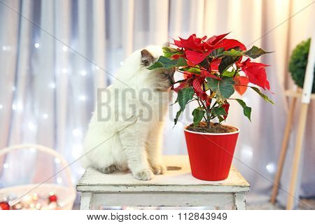 Cat and Christmas flower poinsettia indoor