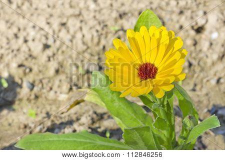 Calendula flower (Calendula officinalis)
