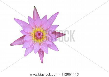 Pink Lotus Flower Top View Has Some Drop Water On The Petal, Isolated On White Background.
