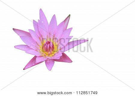 Pink Lotus Flower Top Side View Has Some Drop Water On The Petal, Isolated On White Background.