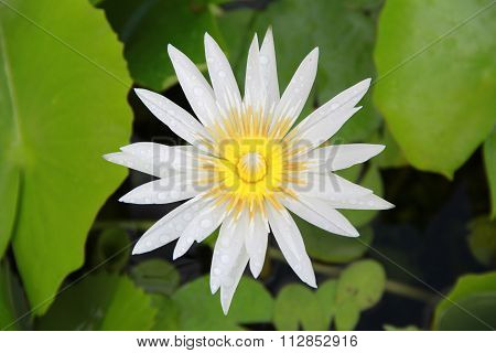 Bright White Lotus Flower Top View In The Pool Has Some Drop Water On The Petal, Symbol Of Purity.