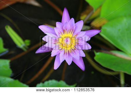 Violet Lotus Flower In The Pool Top View Has Some Drop Water On The Petal, Symbol Of Purity.