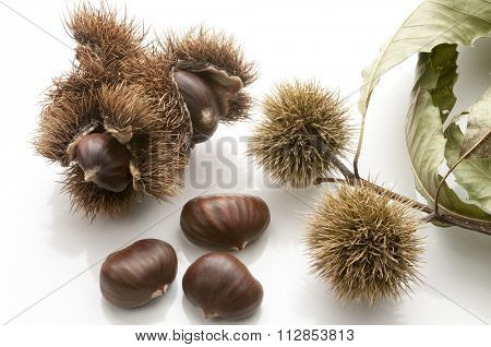 chestnuts in the husk and isolated on white