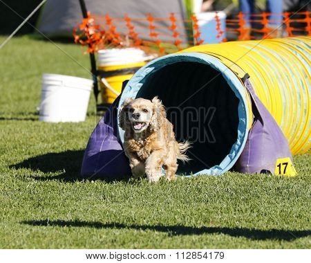 Cocker Spaniel running agility
