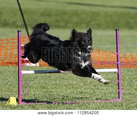 Border Collie going over a jump