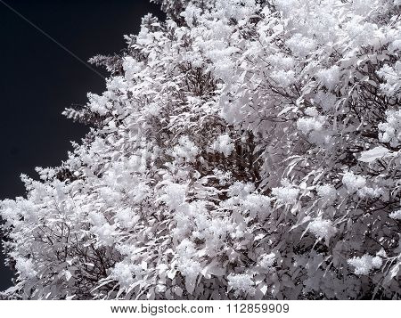 Lilac Bush. Infrared Photography