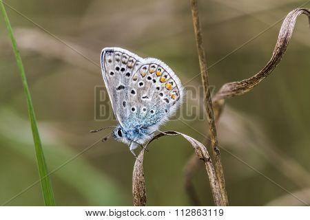 Common blue (polyommatus Icarus)