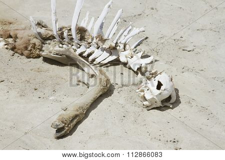 Skeleton Of Guanaco