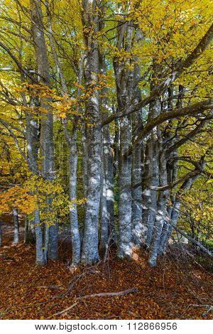 Hardwood Forest With Leaves Fallen On The Ground . Dense Forest With Yellow Leaves On The Ground  An