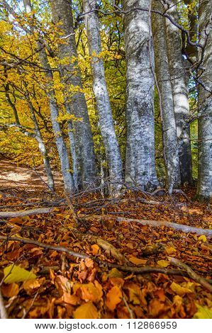 Birch Forest With Yellow Leaves. Dense Forest With Yellow Leaves And  Branches On The Ground During