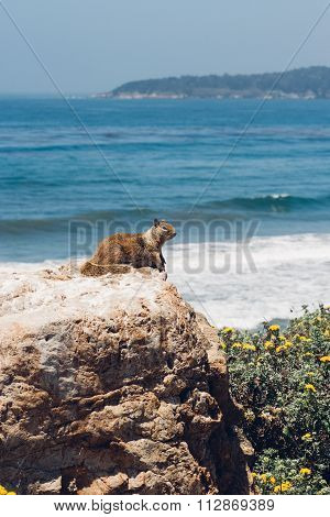 Squirrel At Big Sur Coast, California, Usa