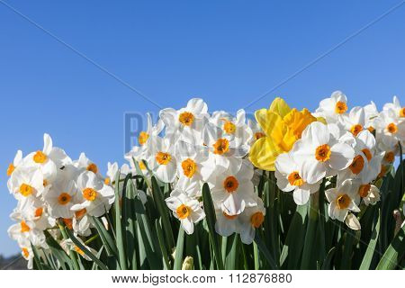 Daffodils With Blue Sky