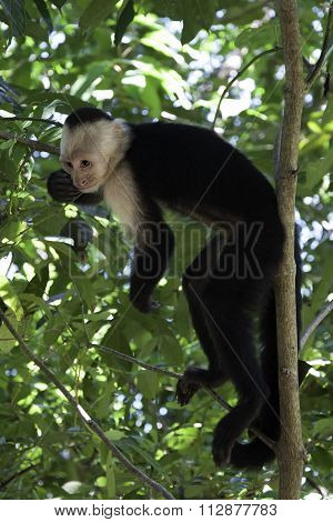 Squirrel Monkey Resting in a Tree