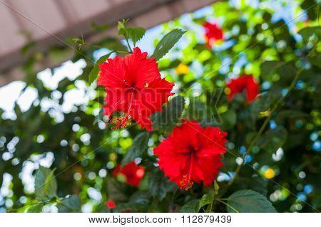 Hibiscus Rosa-sinensis 'brilliant'
