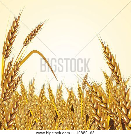 Vector Paddy Grass Closeup Illustration