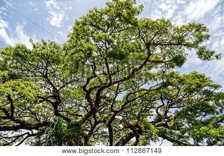 Limbs On Giant Saman Tree