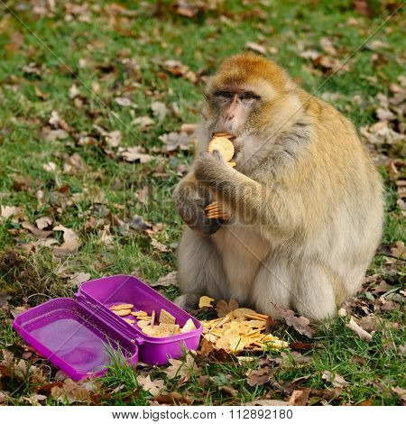 Adult Male Barbary Macaque Eat Cookies At The Zoo, Germany