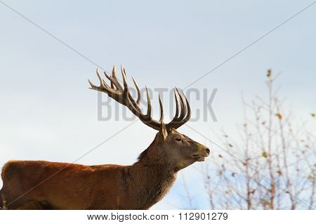 Big Red Deer Stag