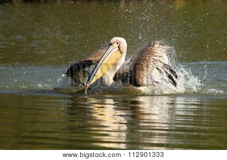 Closeup Of Great Pelican Splashing Water