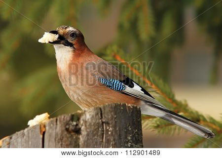 Eurasian Jay Eating Piece Of Bread