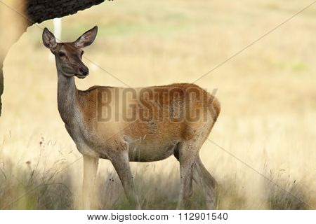Female Red Deer In A Glade