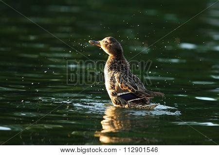 Female Mallard Splashing Water