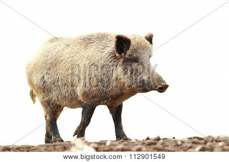 Full Length Isolated Wild Boar