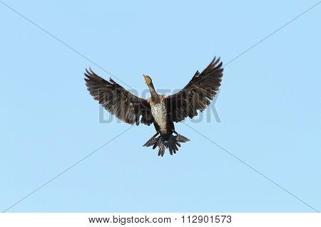 Great Cormorant Spreading Wings Over Blue Sky