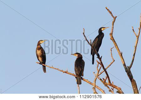 Great Cormorants On Dead Tree
