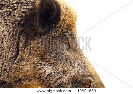 Isolated Closeup Of A Wild Hog