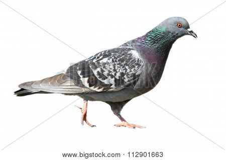 Isolated Feral Pigeon Walking