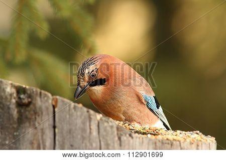 Jay Eating At Garden Bird Feeder