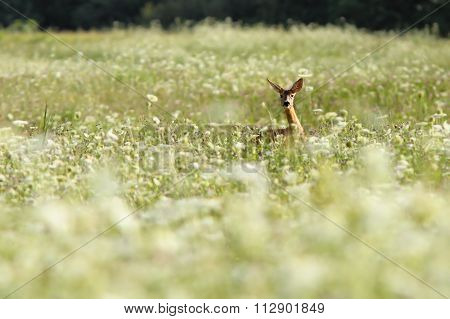 Roe Deer In Big Grass