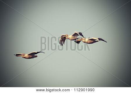 Vintage Image With Three Pelicans In Flight