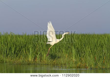 White Heron Flying Over Marsh