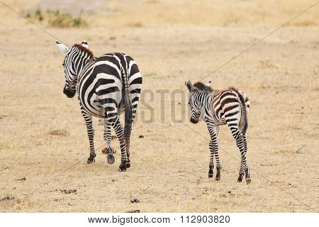 Mother and Baby Zebra Walking in the Savannah